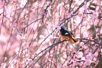 枝垂れ梅に集まる鳥たち♪ - happy-cafe*vol.2