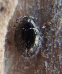 #甲虫 『シラフチビマルトゲムシ』 - 自然感察 *Nature * feeling*