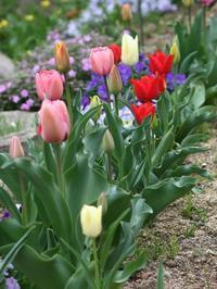 2008年 庭の花 - まぐの野の花図鑑
