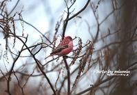 木の実を啄ばむオオマシコ - azure 自然散策 ~自然・季節・野鳥~