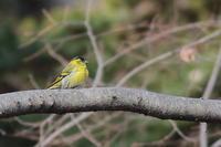 思いもかけず、しかもやっと写せたマヒワ - 上州自然散策2