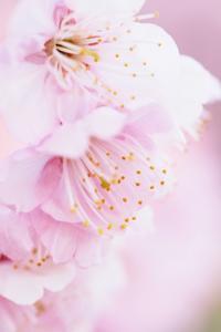 雪割桜 - 土佐の高知と・・・