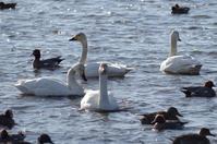 白鳥たちのダンス - 季節の風を追いかけて