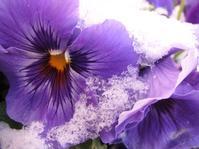 すみれの花の砂糖づけ(la violette cristallisée) - ももさえずり*紀行編*cent chants de chouette