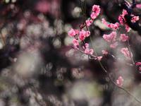 今年の梅は - 1/365 - WEBにしきんBlog