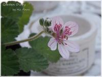 "Erodium ""Sweet Heart"" - Garden Diary"