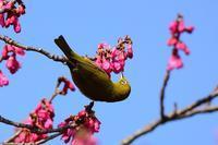 寒緋桜が満開に!となれば、メジロの出番だ♪ - 『私のデジタル写真眼』