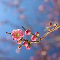 葛西臨海公園で見つけた梅の花 - 記憶ノカケラ