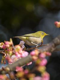 メジロ 河津桜 2月26日 2 - 風まかせ、カメラまかせ