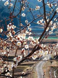梅が一斉に開花 葡萄の芽傷処理 - 葡萄と田舎時間