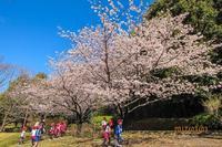 玉縄桜が満開でした - あだっちゃんの花鳥風月