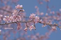 桜三月散歩道♪ - + anything goes +