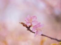 いくつになっても春は待ち遠しいです。 - yohira's photo diary