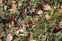 ■ 越冬したチョウ   17.3.4 - 舞岡公園の自然2
