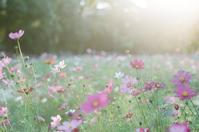 光を浴びた秋桜 - photomo