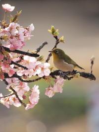 河津桜とメジロと - Y*s ROOM