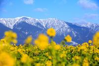 琵琶湖なぎさ公園の菜の花! - Prado Photography!