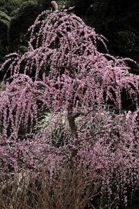 東日本で一番美しい枝垂れ梅が咲く花庭園(静岡県掛川市・龍尾神社) - 旅プラスの日記
