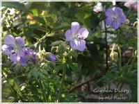Love ♡ Geraniums - Garden Diary