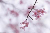 オカメ桜 - 蜂野武蔵は死んだのさ