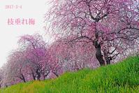 和泉市リサイクル環境公園の梅林【枝垂れ梅と菜の花】 - 日本全国くるま旅