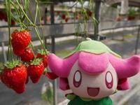 春はイチゴ狩り♪ - ワカバノキモチ 朝暮日記