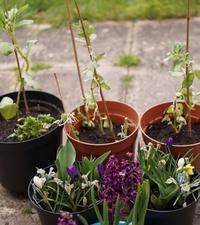 そら豆と春の球根 - Vida lenta