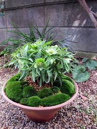 原種VS原種 - リリ子の一坪ガーデン
