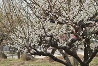 梅の木公園の梅とうさぎ @尼崎 - たんぶーらんの戯言