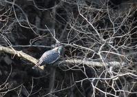 湖のヤマセミ - 写真で綴る野鳥ごよみ