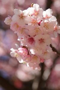春を探して~♪お写んぽ散策 寒桜 新宿御苑 4 - Let's Enjoy Everyday!