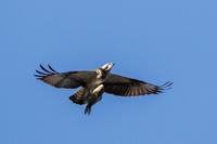 大きな魚をゲットする鳥たち - うちのまわりの自然新聞