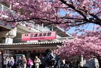 三浦海岸の桜。。。 - DAIGOの記憶