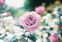 薔薇 - photomo