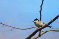 ヒガラ - 上州自然散策2
