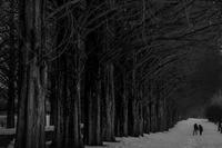 滋賀県高島市 マキノ高原 メタセコイア並木 冬 2017.2.19 - 中部地方風景写真