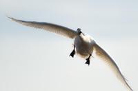 滋賀県長浜市 琵琶湖 湖北野鳥センター コハクチョウ 2017.2.19 - 中部地方風景写真