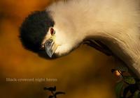 ゴイサギ:Black-crowned night heron - 動物園の住人たち写真展