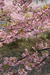 松戸 坂川と河津桜 - pottering
