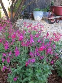 月曜の朝 サルビアの花と校庭 - オズをひとさじ