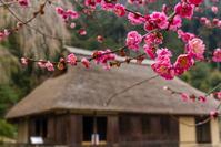 高麗神社の梅 - デジカメ写真集