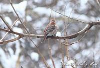 雪の中の「オオマシコ」さん♪ - ケンケン&ミントの鳥撮りLifeⅡ