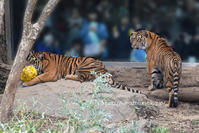 スマトラっ仔 ダマイとミンピ 19 姉妹いっしょ、最後の日 - 今日ものんびり動物園