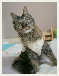 ご長寿猫 はんぞう との暮らし 「2月21日~2月25日の はんぞう」 - たびねこ