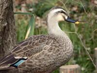 カルガモ - 日野・八王子の野鳥