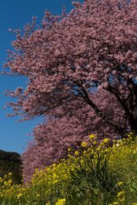 河津桜 - にしやん今日も撮る