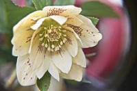 白いクリスマスローズも咲き出しました - 玉家の生存報告