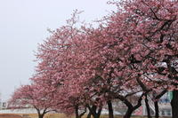 敷島公園の河津桜 (撮影日:2017/3/2) - toshiさんの気まぐれフォトブログ