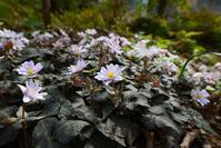 初春の花たち Byヒナ - 仲良し夫婦DE生き物ブログ