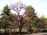 清澄白河公園の寒緋桜 - エンジェルの画日記・音楽の散歩道